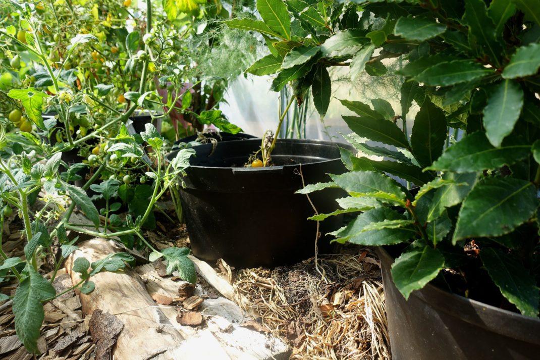 Bild på marken under fruktträd, det står svarta krukor nerborrade i täckmaterialet.