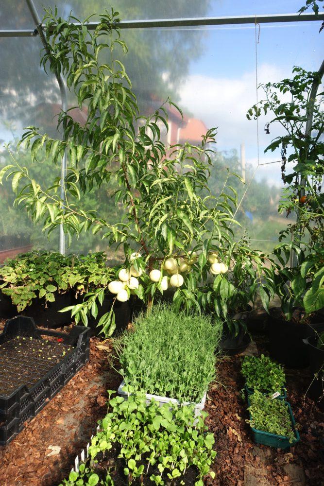 Ett litet träd i ett växthus, bakom stora tråg med små gröna plantor.