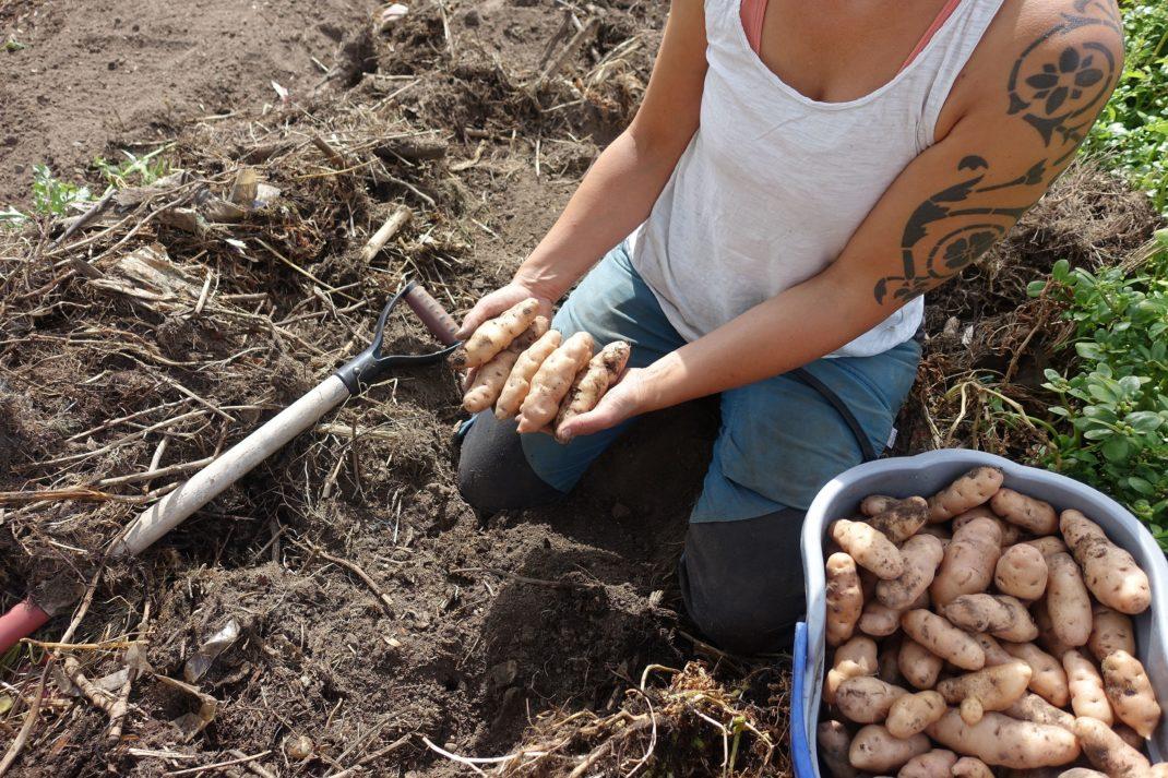 Sara sitter i landet och håller avlång potatis i händerna.