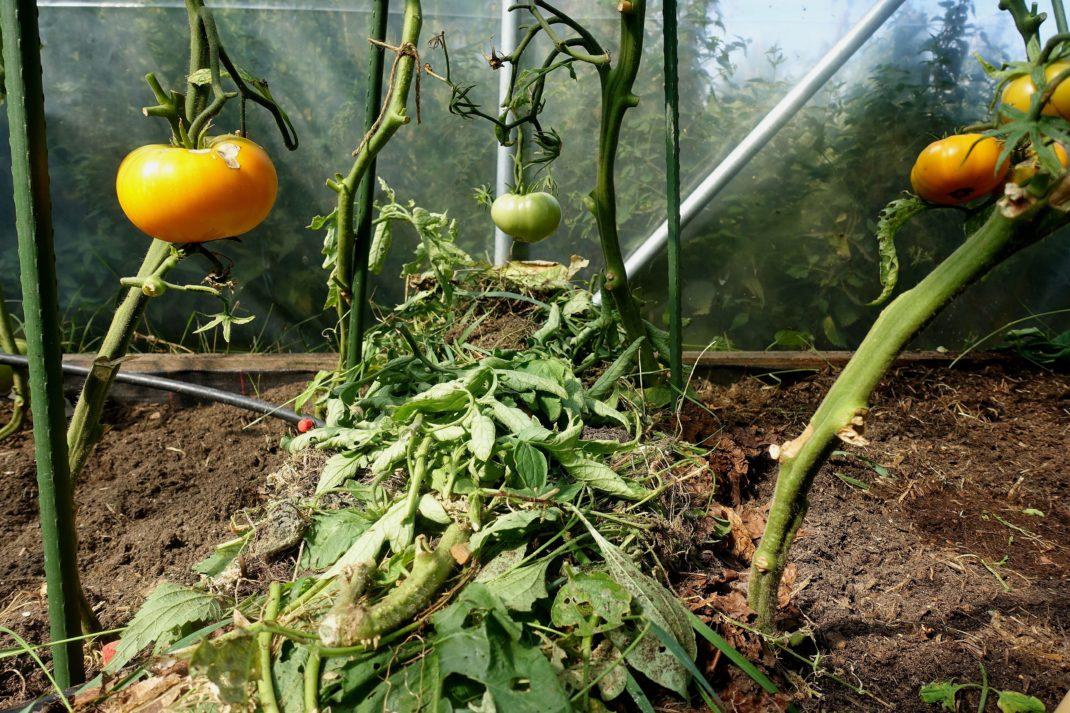 Närbild på en av de täckodlade vallarna, med tomatstjälkar som tittarupp vid sidan av.