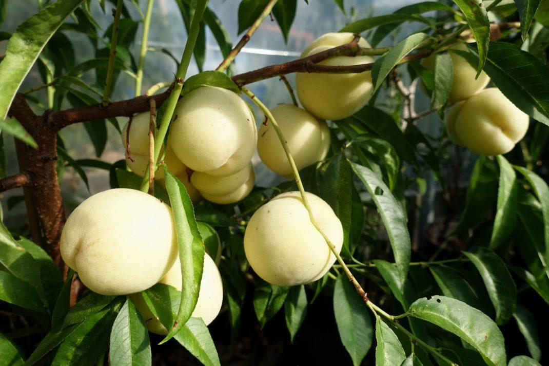 Närbild på en gren som innehåller ett tiotal frukter.