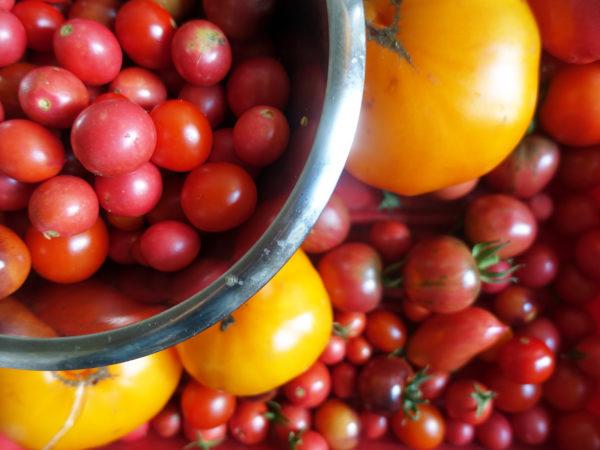 Massor av tomater på bricka och i en skål.