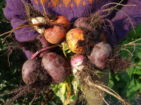 Vackra rotfrukter i olika färger hålls i en famn med en tröja i starkt lila.