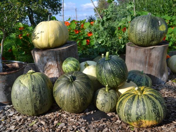 Ett tiotal stora pumpor står utplacerade vackert på stubbar och grus i köksträdgården.