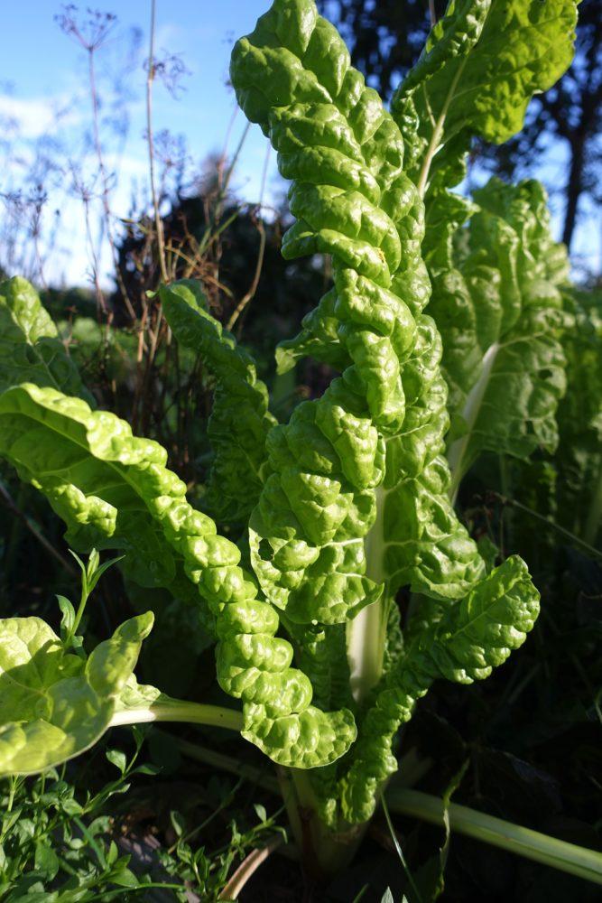 En stående bild på växten då den står i landet.