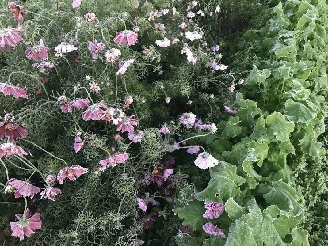 Rosa blommor bredvid majrovans ljusgröna bladverk.