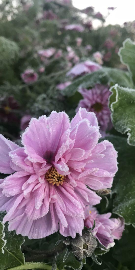 Närbild på en frusen rosenskära.