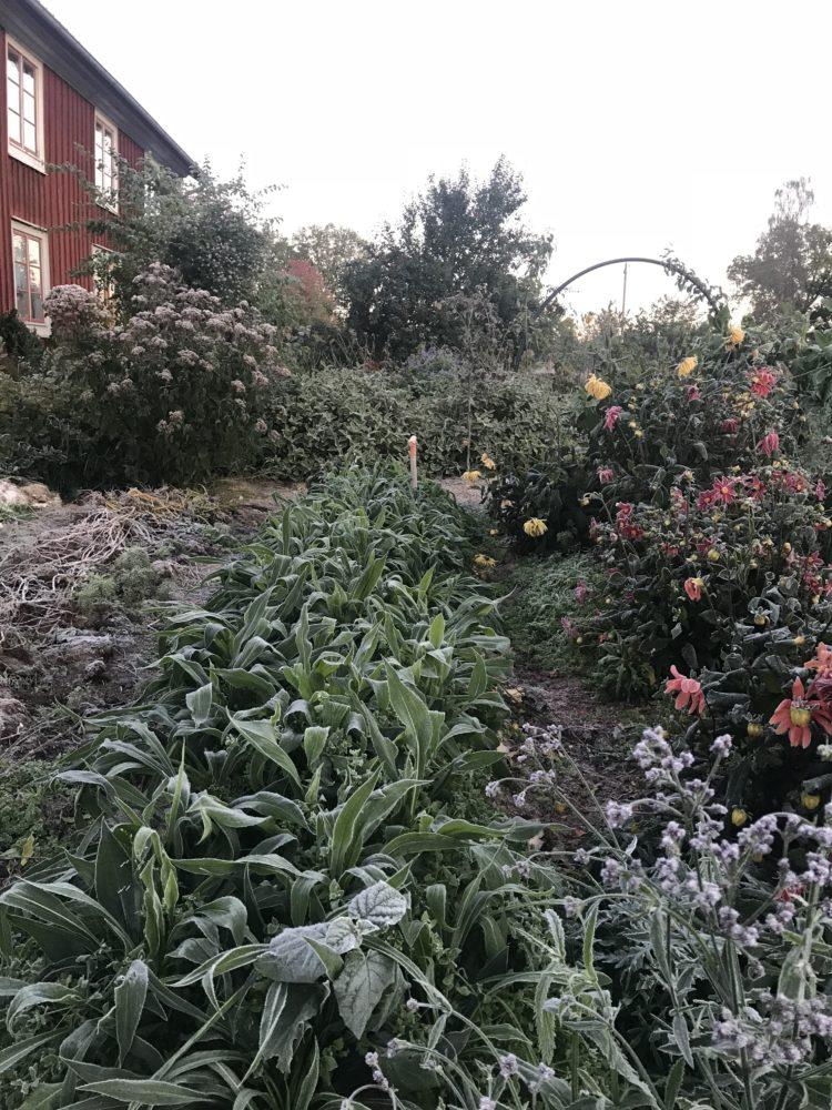 Köksträdgården i morgonljus