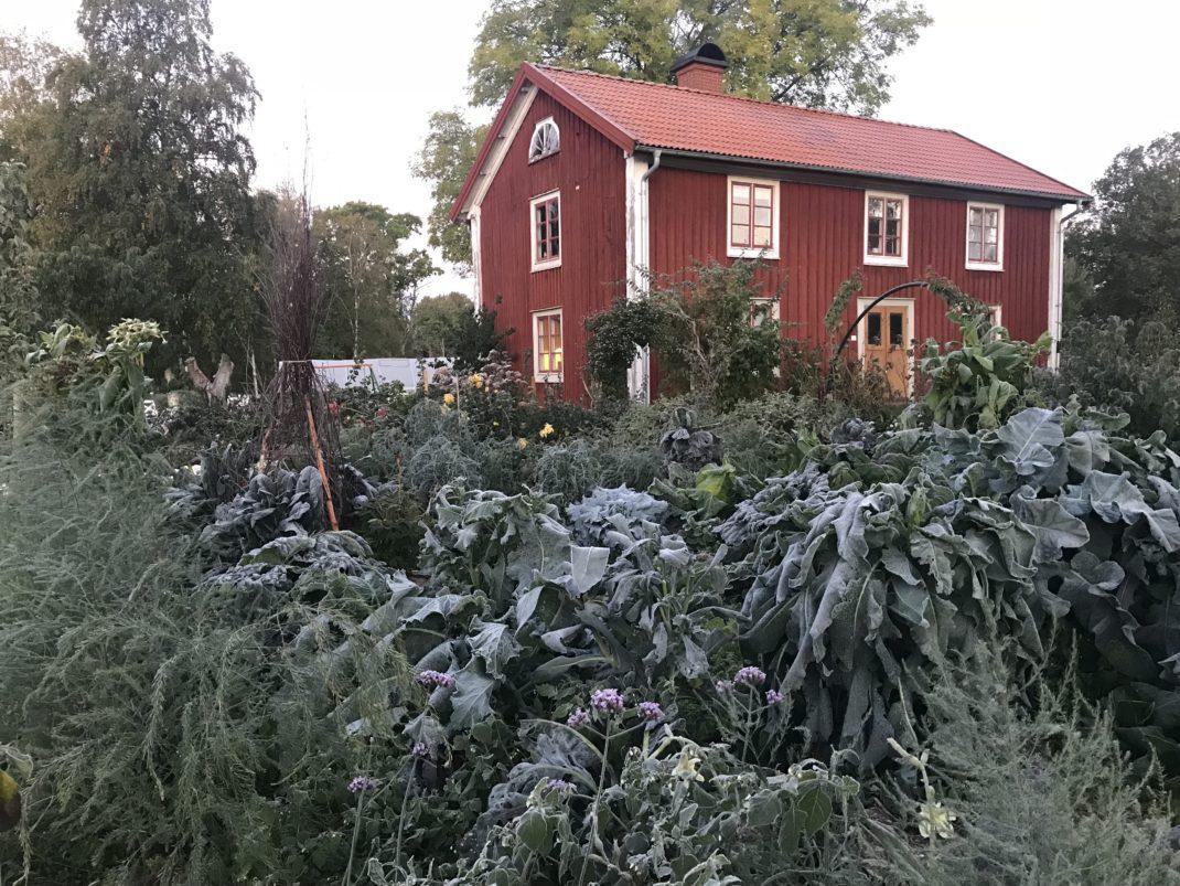 Frostnupen köksträdgård i morgonljus.