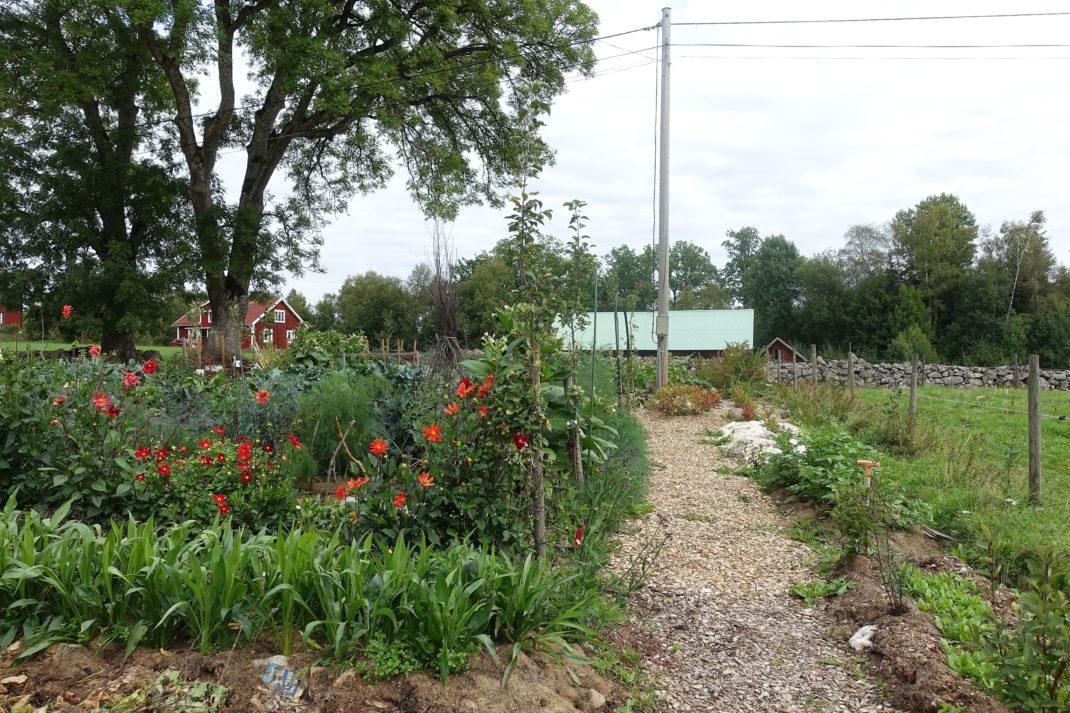 Köksträdgården i sensommarskrud med gångar av träflis.