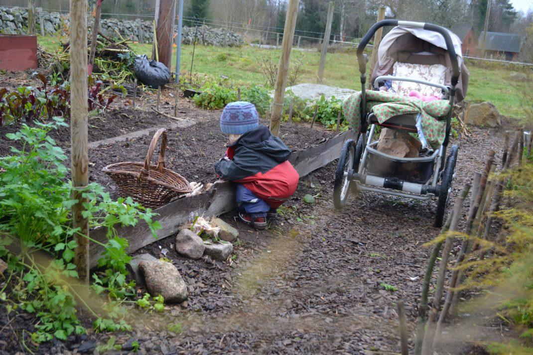 Ett litet barn sitter vid en odlingsbädd och planterar vitlök