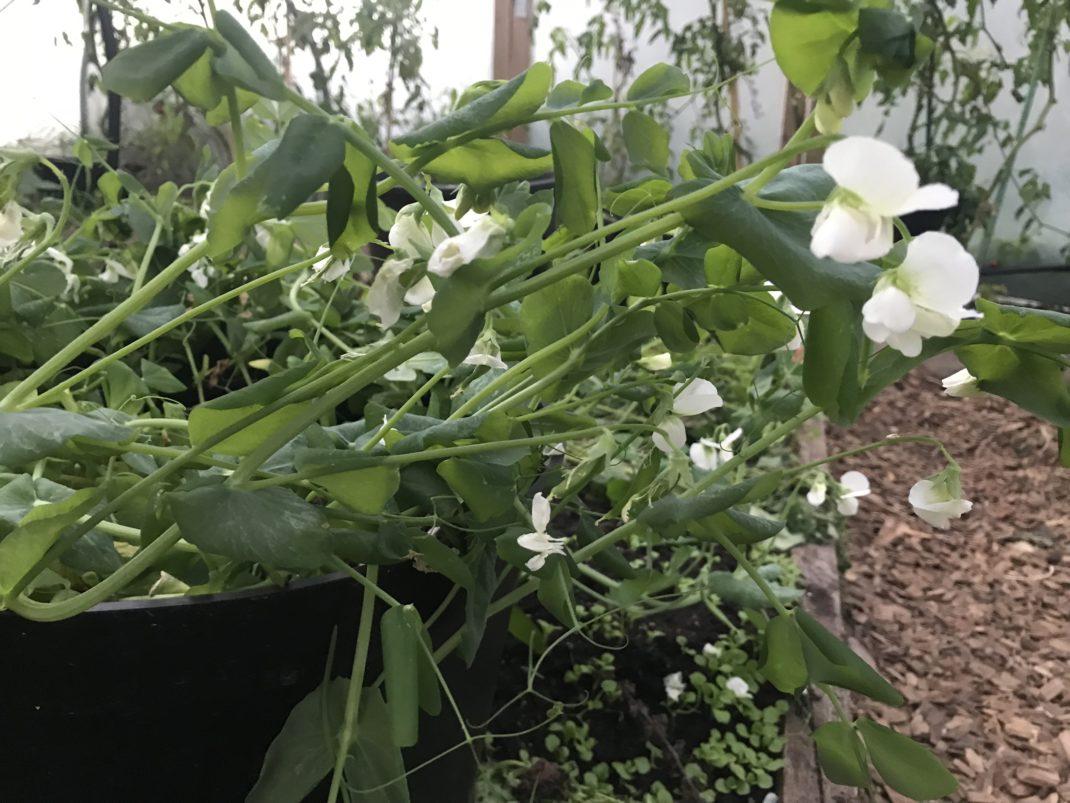 Närbild på sockerärter som blommar.