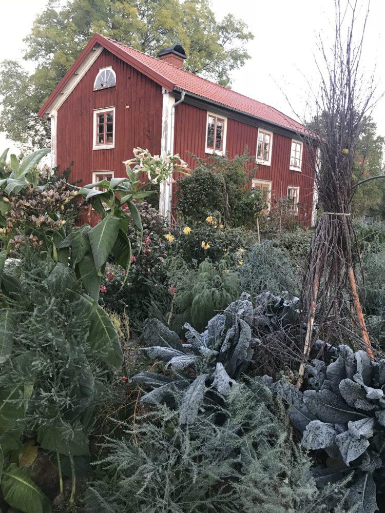 Bild på köksträdgården med mycket kål i förgrunden och huset i bakgrunden.