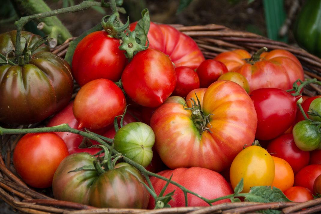 Tomater i olika färger och former ligger och skiner tillsammans i en stor korg.