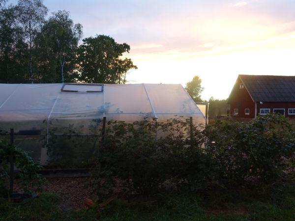 Ett av Saras tunnelväxthus står mot en ljuvlig solnedgång och ett röd lada.