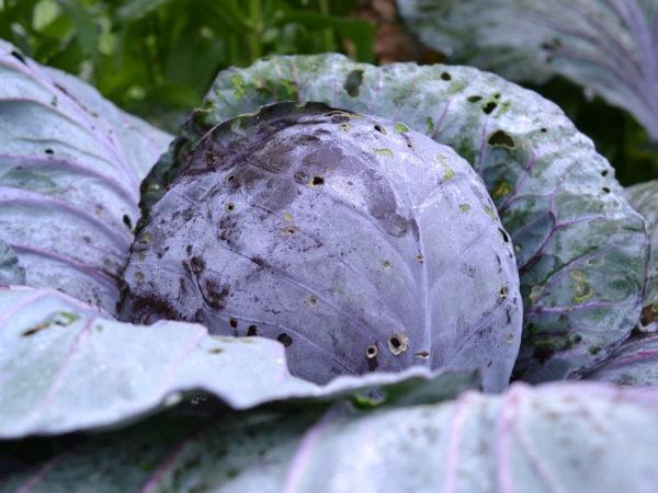 En prima rödkål ligger blank av frost i landet med stora foderblad kring sig.