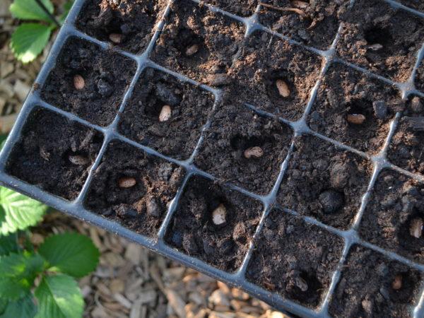Närbild av ett pluggbrätte där bönor såtts.