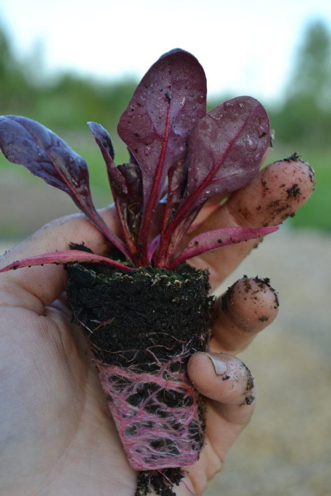 Saras hand håller en liten betplanta.