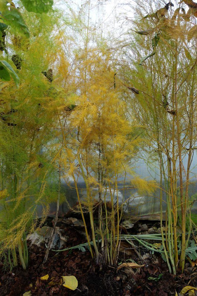 Stående närbild på alla tre plantor, med många vippor i gult och grönt.