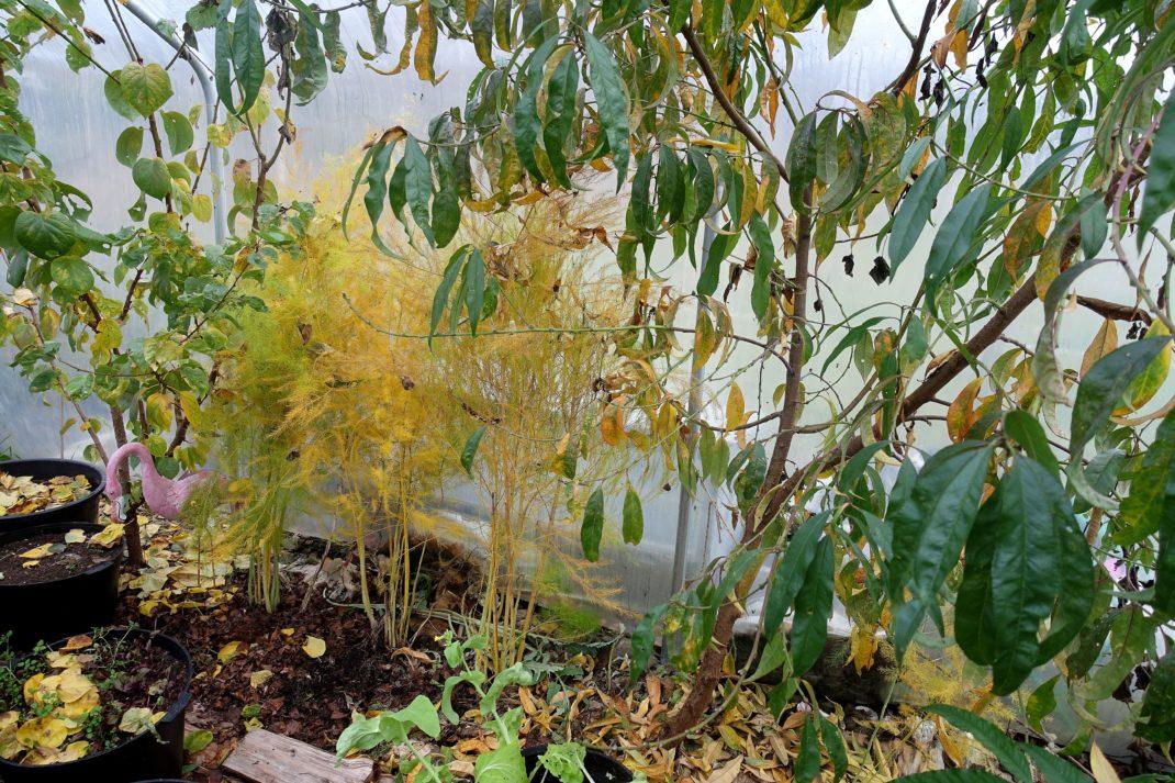 Vissnande växter i olika nyanser längs en vägg av växthusplast.