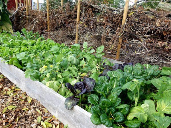 En lång odlingslåda fullproppad med blad i olika färger.