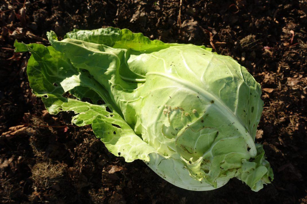 Ett ansat fint kålhuvud i grönvitt ligger på marken.