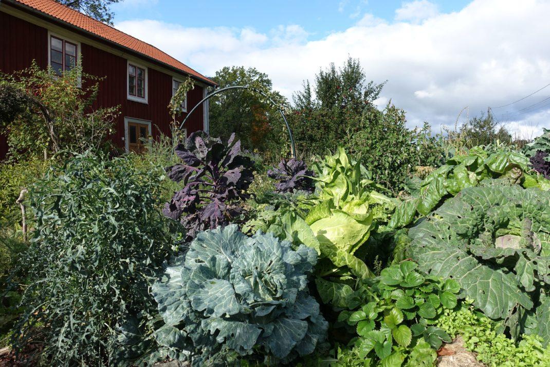 En färgsprakande höstträdgård med stora kålhuvuden i olika färger.