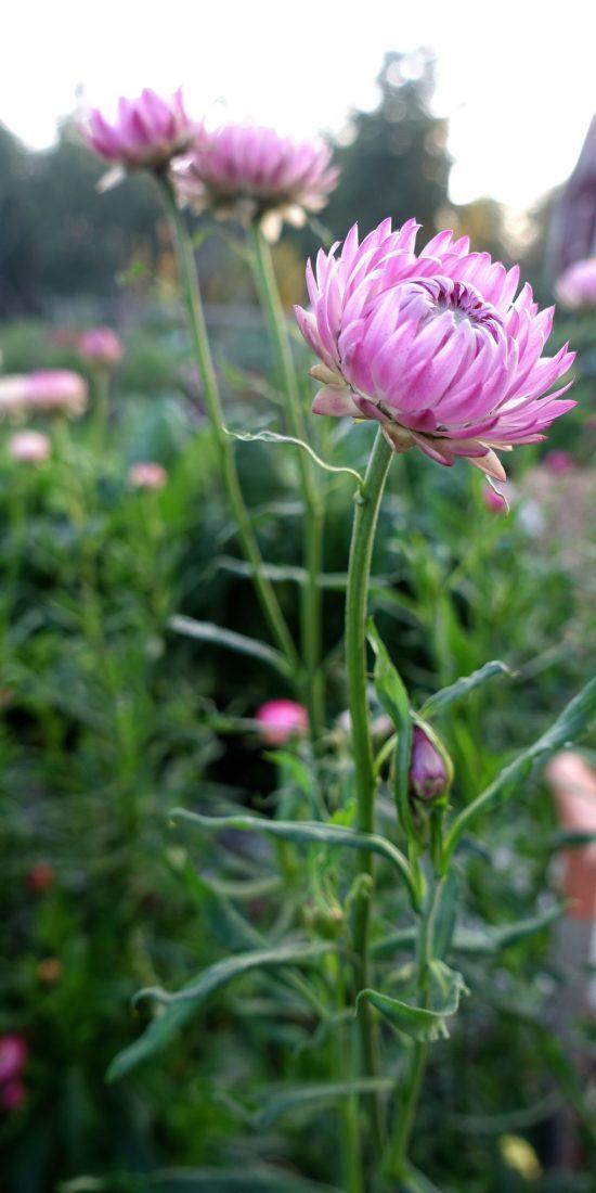 Närbild på en rosa blomma.
