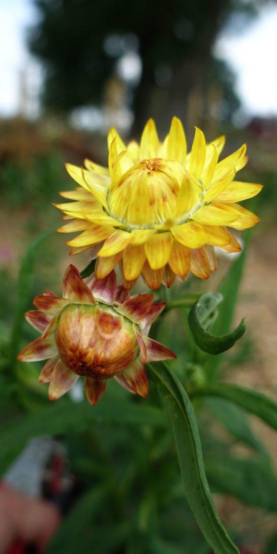 En bild på en gul blomma och en knopp.