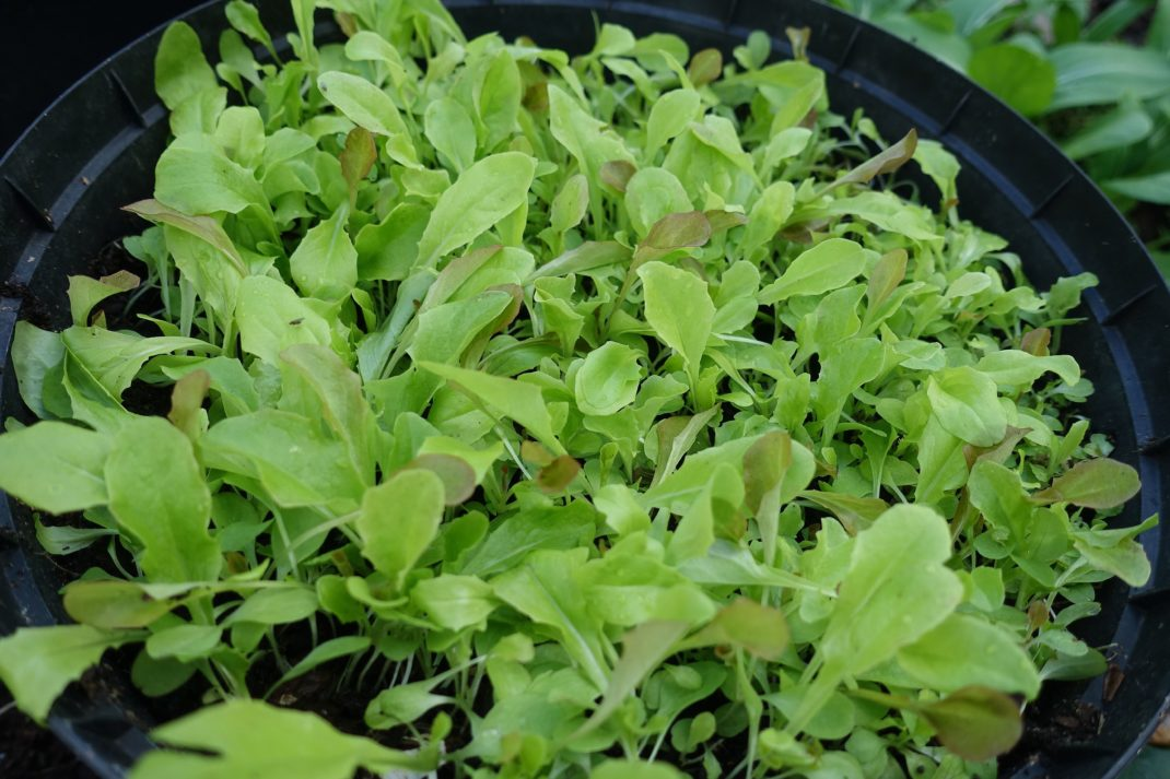 Närbild på en svart kruka med massor av små gröna blad i olika nyanser.