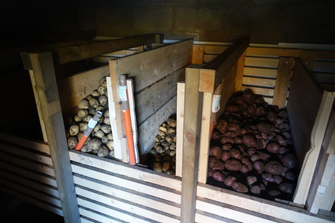 Träbingar i ett mörkt källarutrymme, fyllda med potatis.