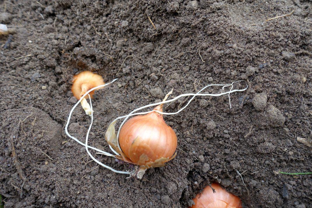 Tre sättlökar ligger på rad mot jorden, en har utvecklat rötter.