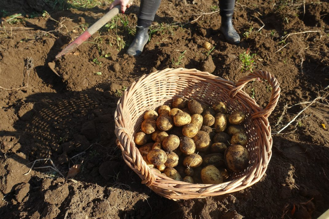 En korg fylld med nyskördad potatis.