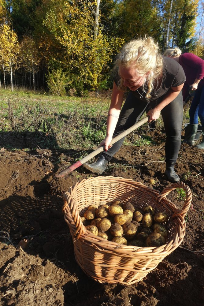 En tjej tar i med hacka för att få upp potatis ur jorden, bredvid en stor korg med potatis.