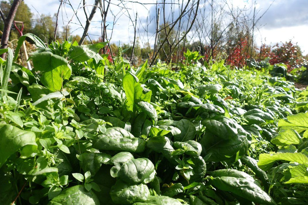 En grön matta av stora spenatblad mellan småblad av ogräset våtarv.