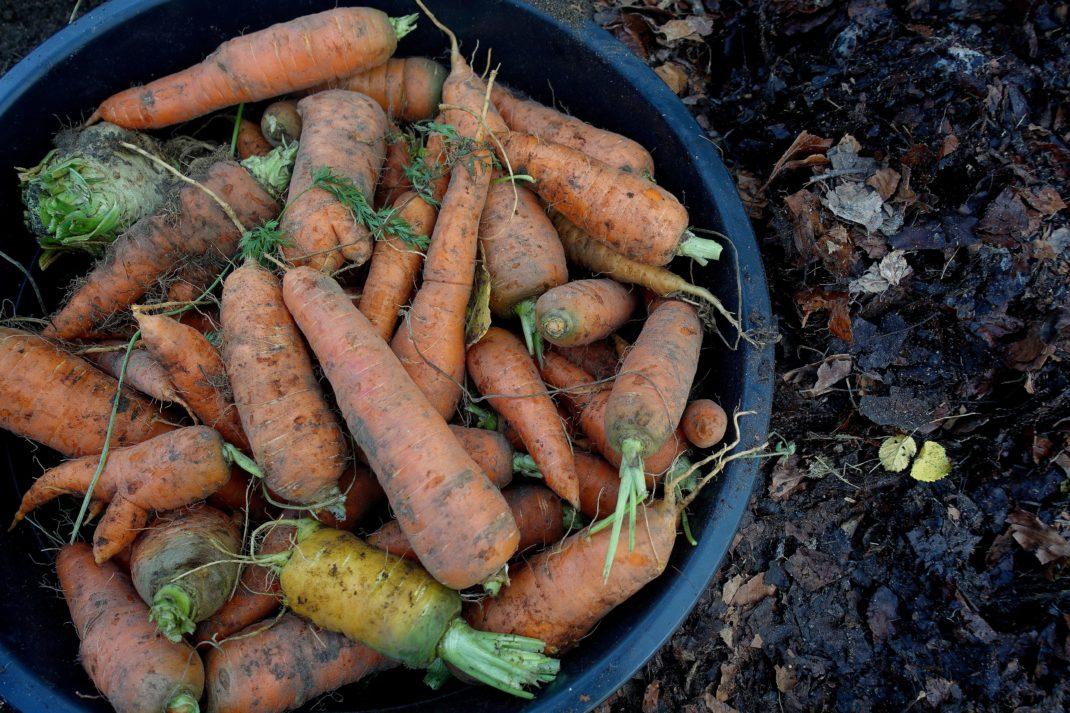 En hink fylld av morötter.