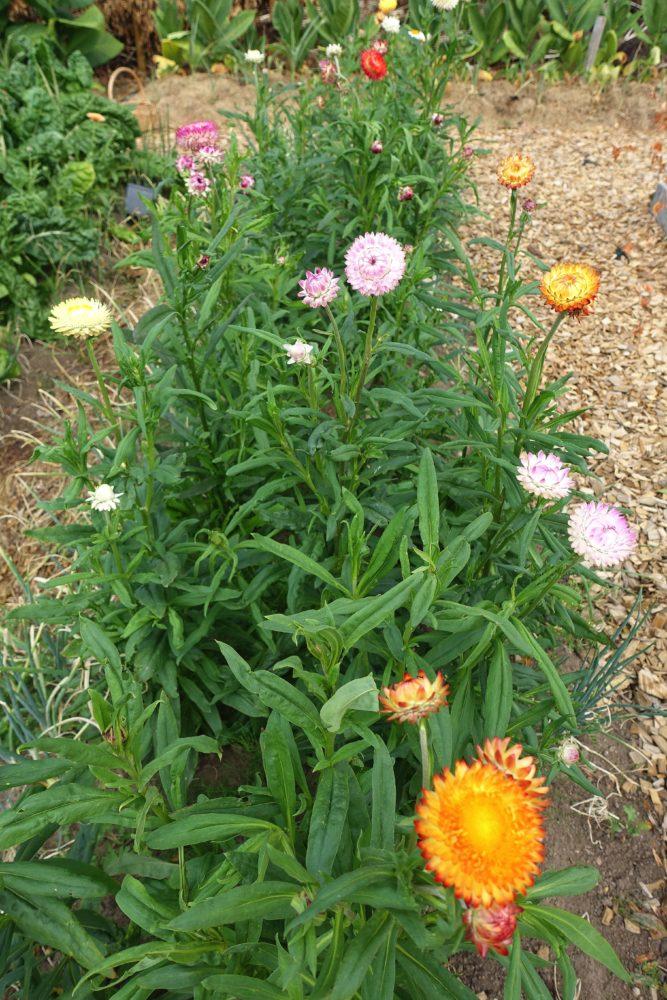 Bild på plantering med gröna växter med fägglada små blommor i toppen, de ser ut som bollar.