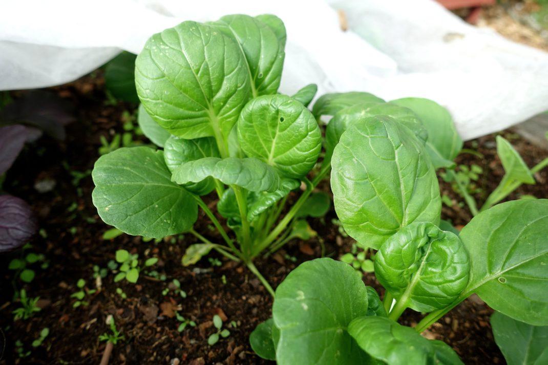 Närbild på två knubbiga kålplantor med gröna blad.