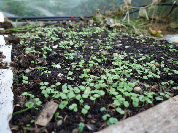 Små gröna pluttar sticker upp ur jorden på marken.