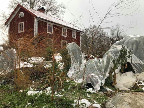 Saras trädgård med frost och grönsaker täckta med fiberduk.