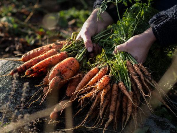 Saras händer håller en skörd av jordiga morötter.