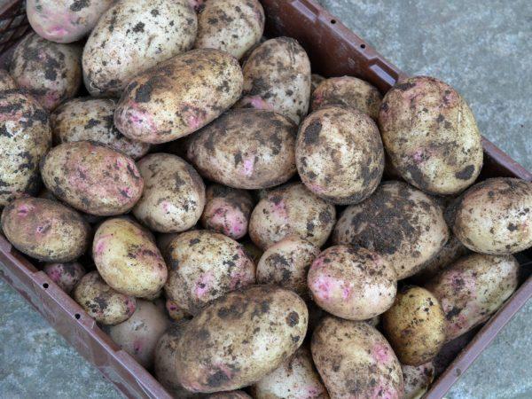 En back med jordig potatis.