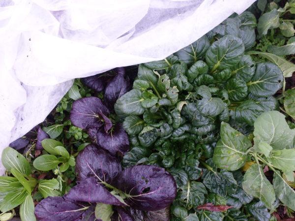 Vackra bladgrönsaker under duk.