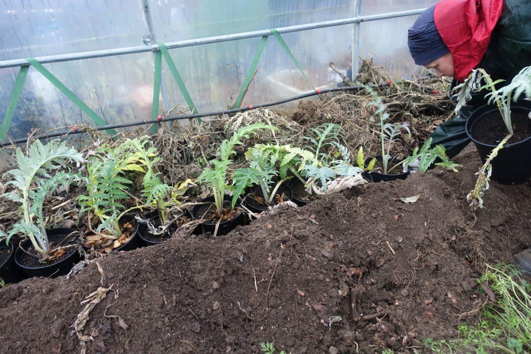 Sara sätter ner plantorna i diket.