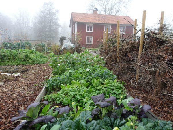 En höstaktigt köksträdgård i dimmigt ljus, med mängder av vackra bladgrönsaker i förgunden.