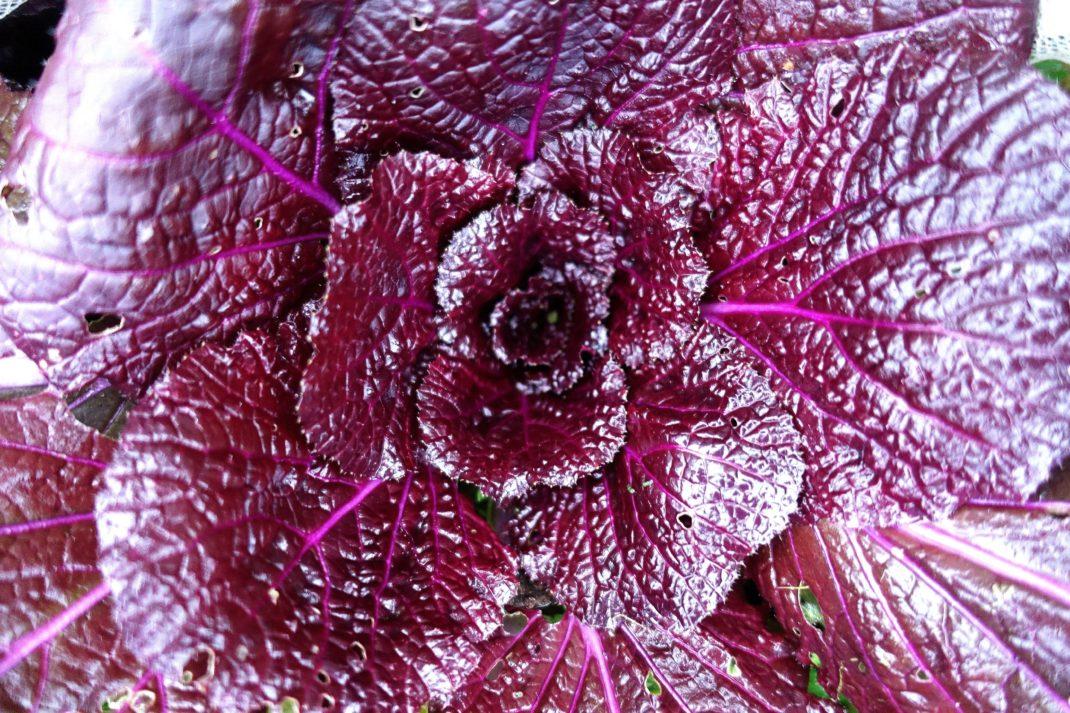 En närbild på bladverk hos en illröd kålplanta.