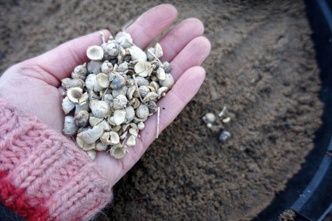 En hand håller fröer av strandkål över en kruka fylld med sand.