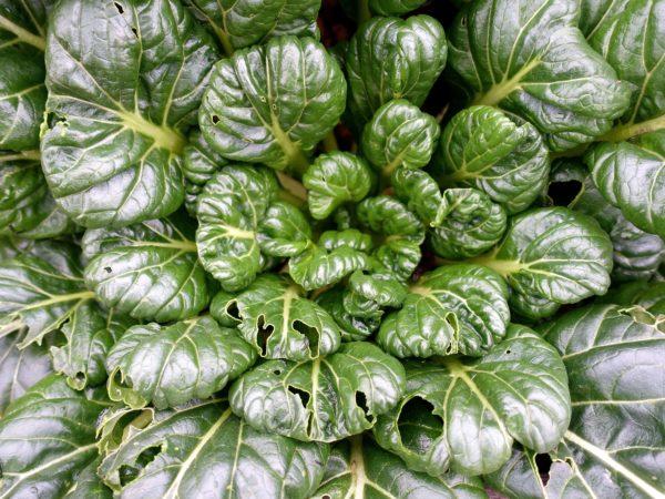 En vacker glänsande kålväxt i mörkt grönt med blanka blad.