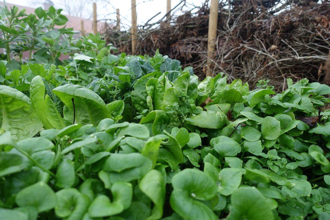 En massa gröna blad som står med ett staket av grenar och kvistar som fond.