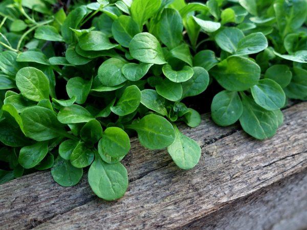 Närbild på odlingsplatsen med gröna täta blad innanför en träkant